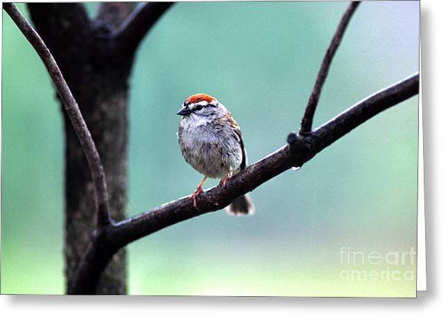 Chipping Sparrow Greeting Card by Thomas R Fletcher