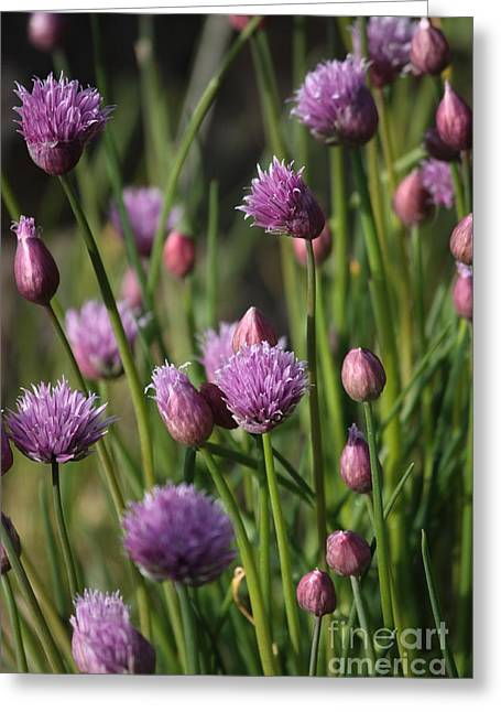 Chives Greeting Cards - Chive Flowers Greeting Card by Carol Groenen