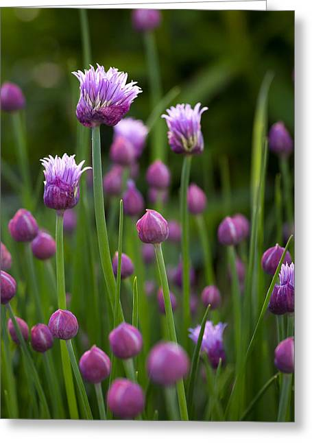 Maine Spring Greeting Cards - Chives Greeting Card by Patrick Downey