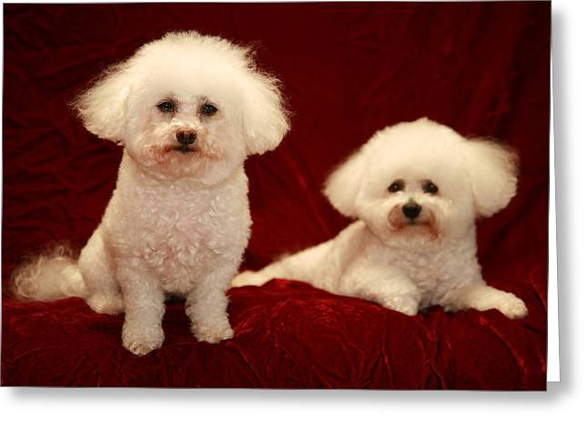 Isolated On Black Background Greeting Cards - Chloe and Jolie the Bichon Frises Greeting Card by Michael Ledray