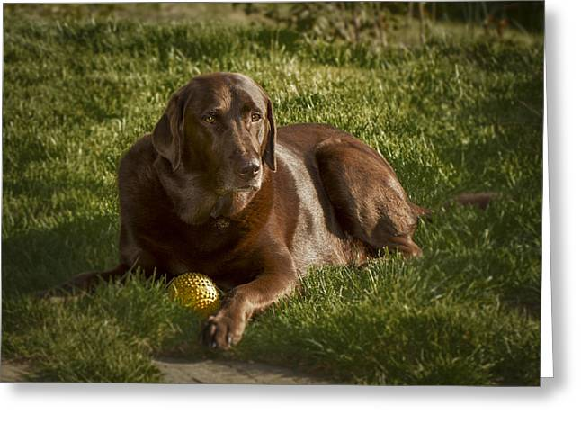 Chocolate Lab At Rest Greeting Card by Jean Noren