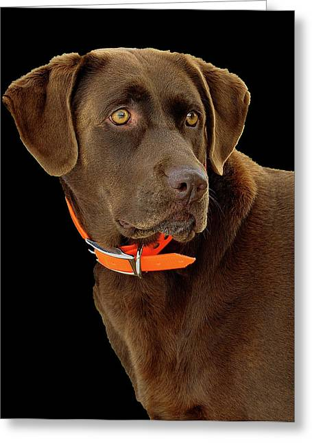 Chocolate Lab Greeting Cards - Chocolate Lab Greeting Card by William Jobes