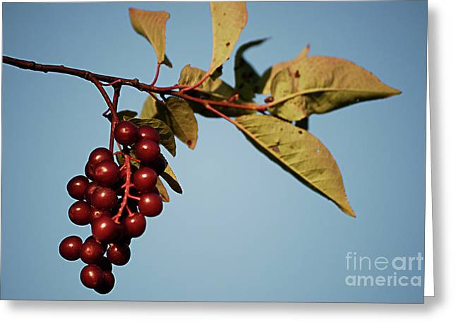 High Virginia Images Greeting Cards - Choke Cherry Greeting Card by Randy Bodkins