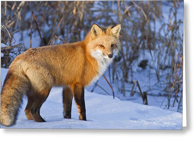 Christmas Fox Greeting Card by Mircea Costina Photography