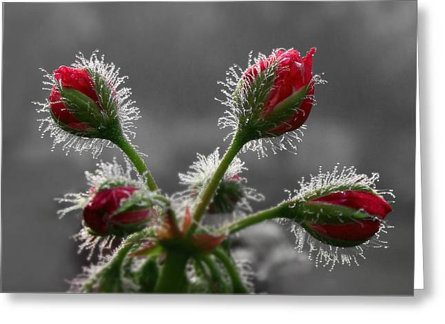 Red Geraniums Photographs Greeting Cards - Christmas in May Greeting Card by Lori Deiter