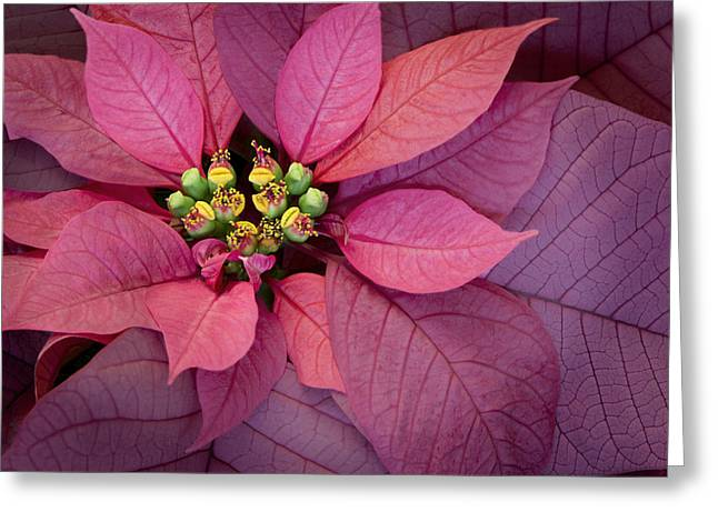 Christmas Poinsettia Greeting Card by Barbara Smith