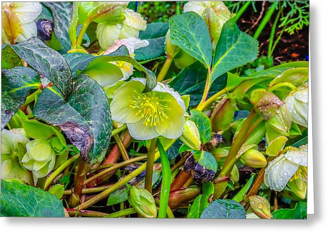 Christmas Rose April #1 Greeting Card by Leif Sohlman