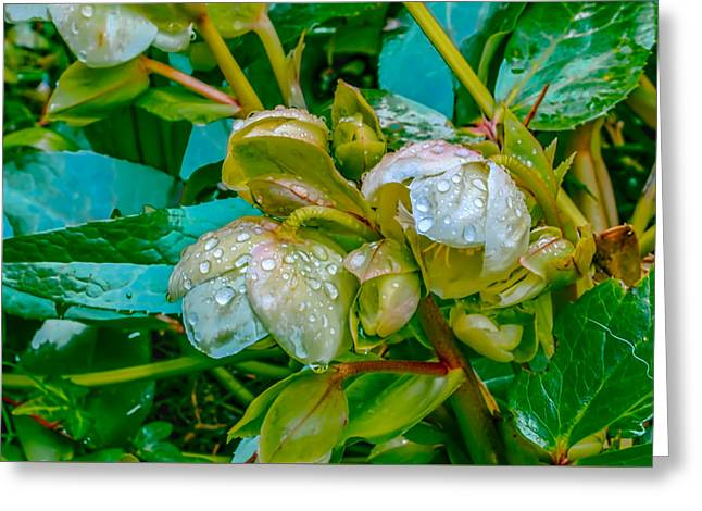 Christmas Rose April 24 Greeting Card by Leif Sohlman