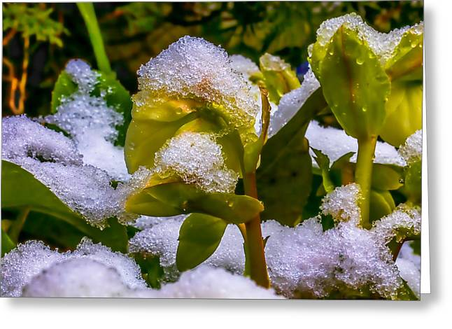 Christmas Rose April 25 Greeting Card by Leif Sohlman