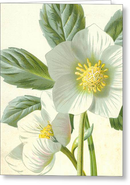 Detail Drawings Greeting Cards - Christmas Rose Greeting Card by Frederick Edward Hulme
