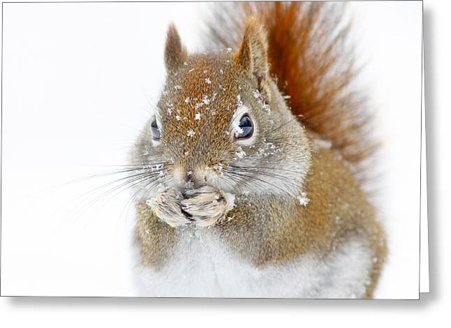 Christmas Squirrel Greeting Card by Mircea Costina