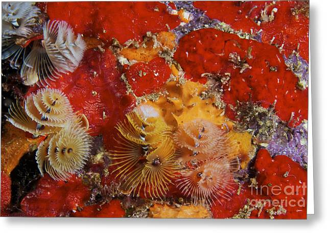 Red Coral Greeting Cards - Christmas Tree Worms, Bonaire Greeting Card by Terry Moore