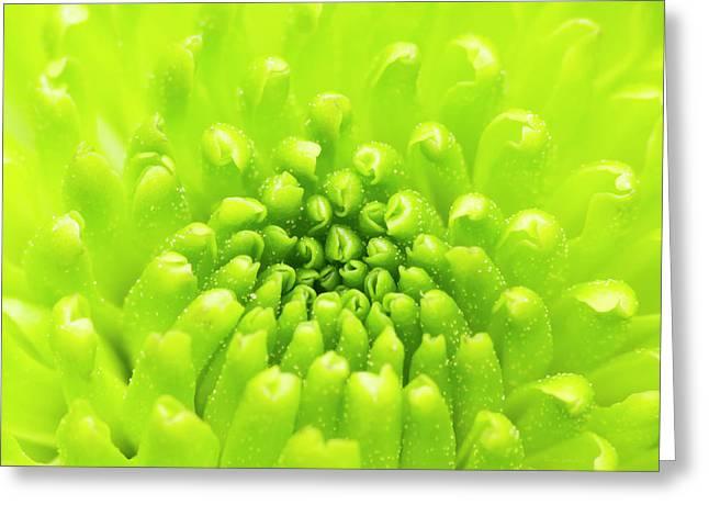 Chrysanthemum Macro Greeting Card by Wim Lanclus