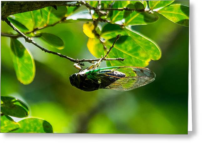 Wildlife Celebration Greeting Cards - Cicada Greeting Card by Alicia Collins