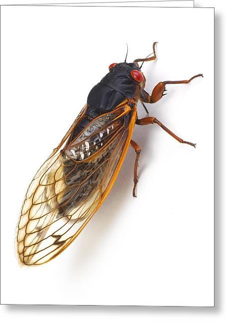 Cicada Greeting Cards - Cicada Greeting Card by Donald Schwartz