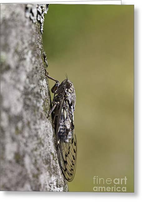 Cicada Greeting Cards - Cicada Greeting Card by Gabriela Insuratelu