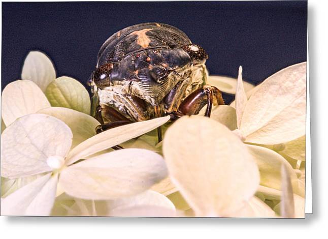 Cicada Greeting Cards - Cicada Sneeking Through the Petals Greeting Card by Douglas Barnett
