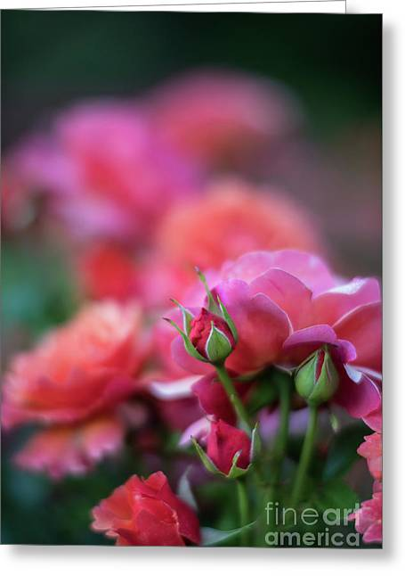 Cinco De Mayo Roses Color Explosion Greeting Card by Mike Reid