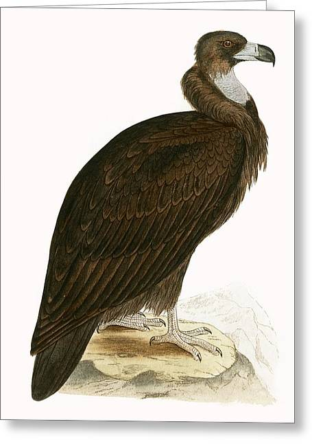 Cinereous Vulture Greeting Card by English School