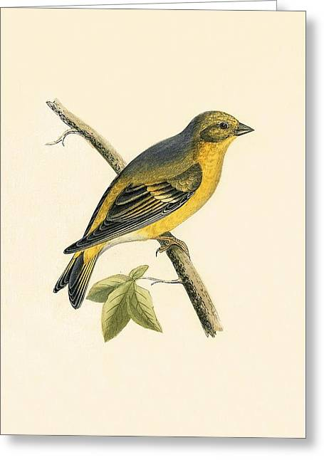 Citril Finch Greeting Card by English School