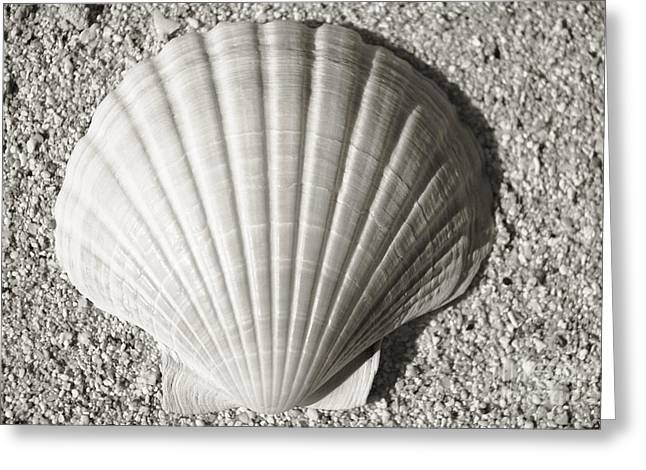 Life Line Greeting Cards - Clam Fan Greeting Card by Mary Van de Ven - Printscapes