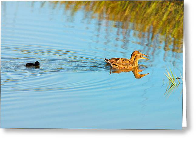 Zoology Greeting Cards - Clapper Rail Family Greeting Card by Ram Vasudev