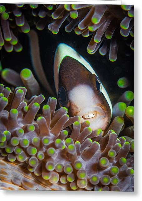 Clarks Anemone Fish Greeting Card by J Gregory Sherman