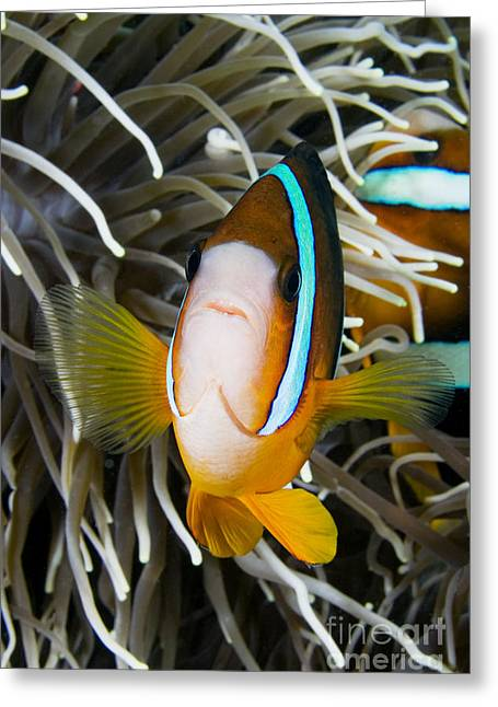 Clarks Anemonefish Greeting Card by Dave Fleetham - Printscapes