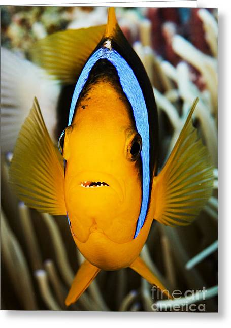 Amphiprion Clarkii Greeting Cards - Clarks Anemonefish Face Greeting Card by Dave Fleetham - Printscapes