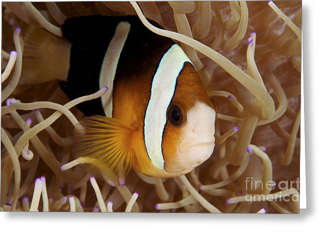 Amphiprion Clarkii Greeting Cards - Clarks anemonefish Greeting Card by Steve Rosenberg - Printscapes