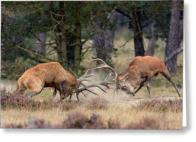 Rut Greeting Cards - Clash Of The Titans Greeting Card by Roelof Janssens