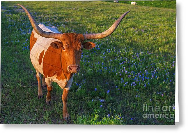 Texas Longhorn In Bluebonnets Greeting Cards - Classic Spring Scene in Texas Greeting Card by Gary Holmes