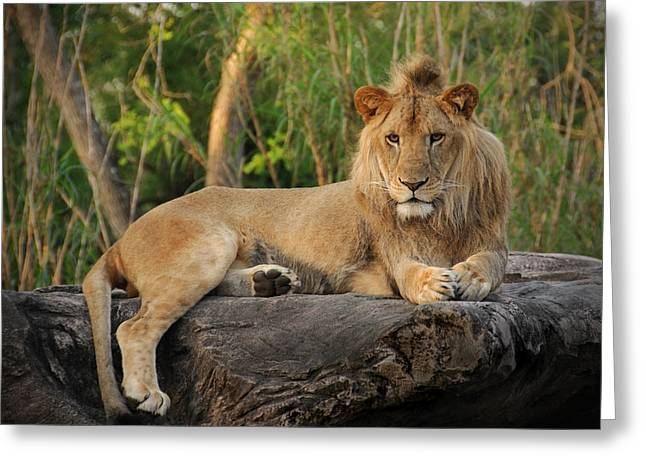 Lions Greeting Cards - Classic Young Male Greeting Card by Steven Sparks
