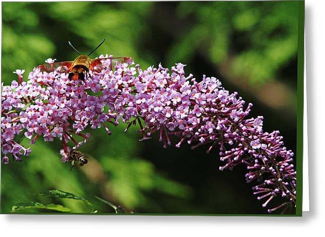 Hovering Greeting Cards - Clearwing Moth And The Bee Greeting Card by Debbie Oppermann