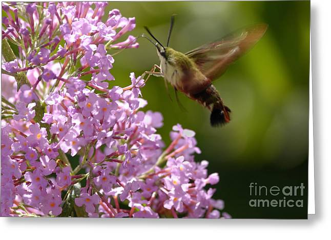 High Virginia Images Greeting Cards - Clearwing Pink Greeting Card by Randy Bodkins