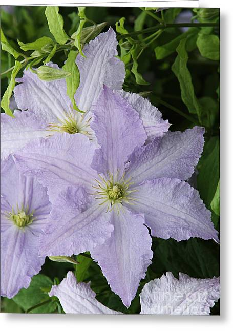 Angel Blues Greeting Cards - Clematis Blue Angel Greeting Card by Judy Whitton