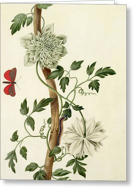 Vines Drawings Greeting Cards - Clematis Florida with Butterfly and Caterpillar Greeting Card by Matilda Conyers