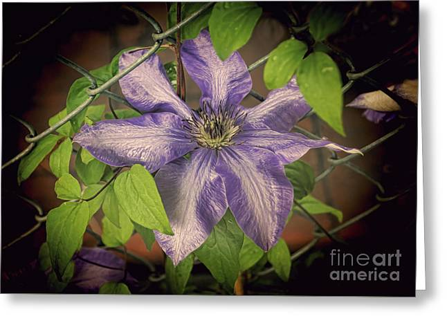 Stamen Digital Greeting Cards - Clematis on the Fence Greeting Card by Janice Rae Pariza