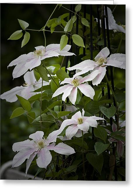 Trellis Greeting Cards - Clematis Vine 1 Greeting Card by Teresa Mucha