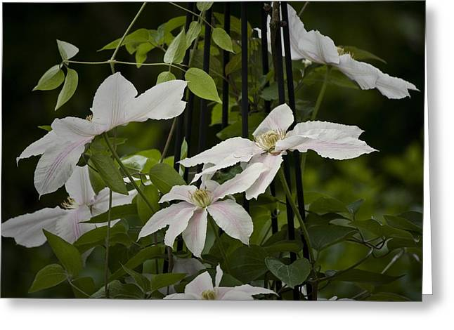 Trellis Greeting Cards - Clematis Vine 2 Greeting Card by Teresa Mucha