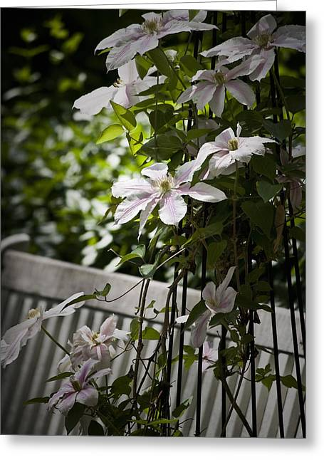 Lush Green Greeting Cards - Clematis Vine 3 Greeting Card by Teresa Mucha