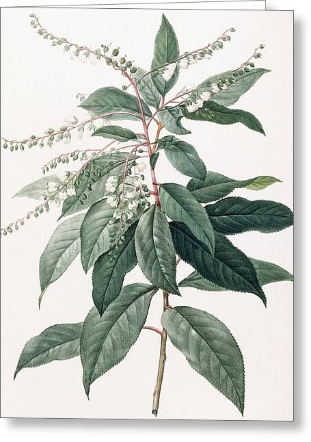 Fresh Green Drawings Greeting Cards - Clethra Arborea Greeting Card by Pierre Joseph Redoute