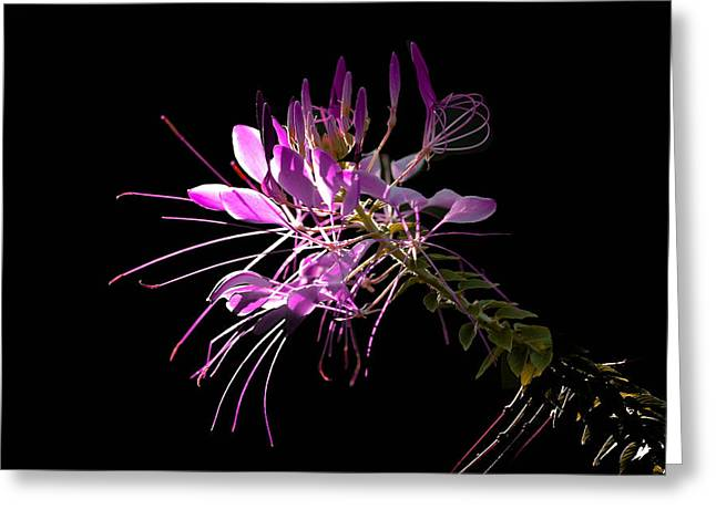 Cleome Flower Greeting Cards - Cliome Sweet Cliome Greeting Card by Ross Powell