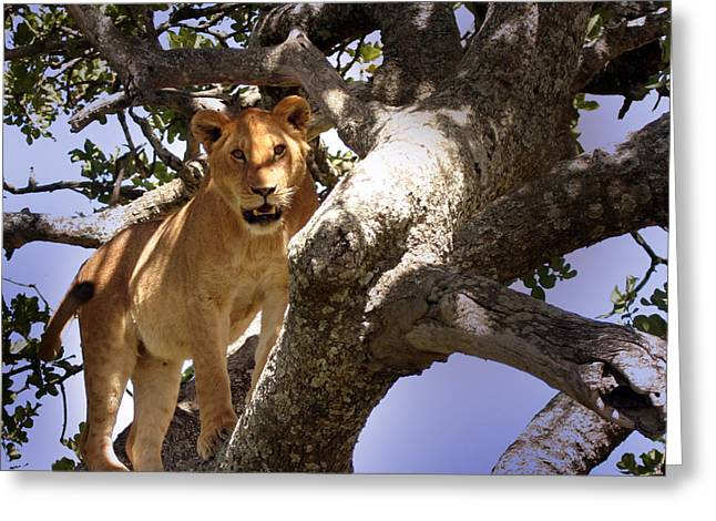 Lioness Greeting Cards - Close encounters Greeting Card by Joseph G Holland
