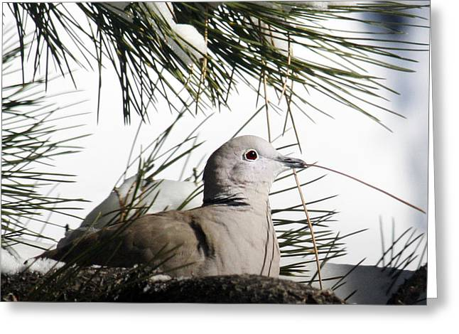 Pine Needles Greeting Cards - Close Up African Collared Dove Greeting Card by Marilyn Hunt