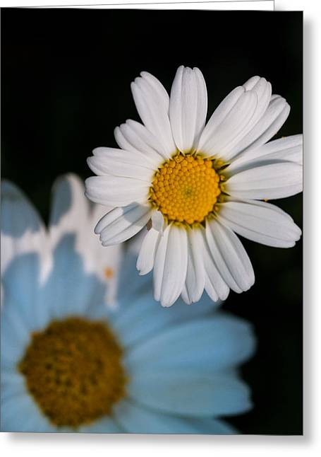 Cardboard Digital Greeting Cards - Close up daisy Greeting Card by Nathan Wright