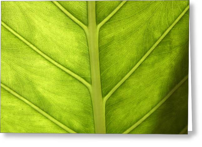 Elephant Ear Plant Greeting Cards - Close-up Of A Elephant Ear Greeting Card by Ralph A  Ledergerber-Photography