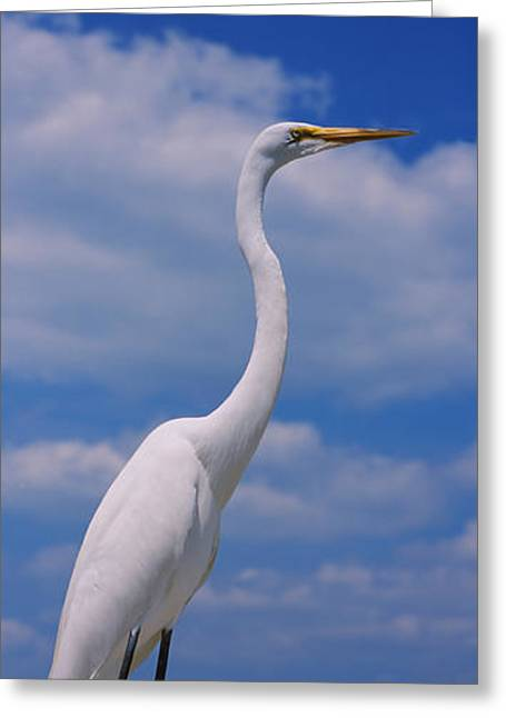 Ardea Greeting Cards - Close-up Of A Great Egret Ardea Alba Greeting Card by Panoramic Images