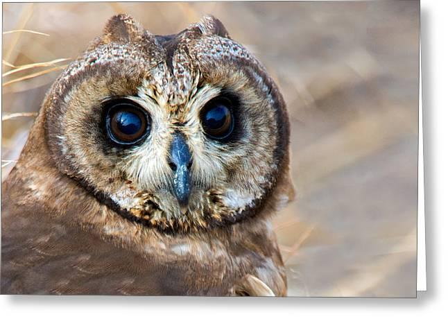 Owl Photography Greeting Cards - Close-up Of African Grass Owl Tyto Greeting Card by Panoramic Images
