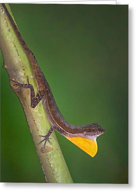 Close-up Of An Anole, Tortuguero, Costa Greeting Card by Panoramic Images